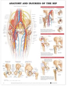 Anatomy & Injuries of the Hip
