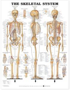 The Skelet System