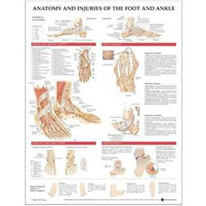 Anatomy & Injuries of the Foot & Ankle